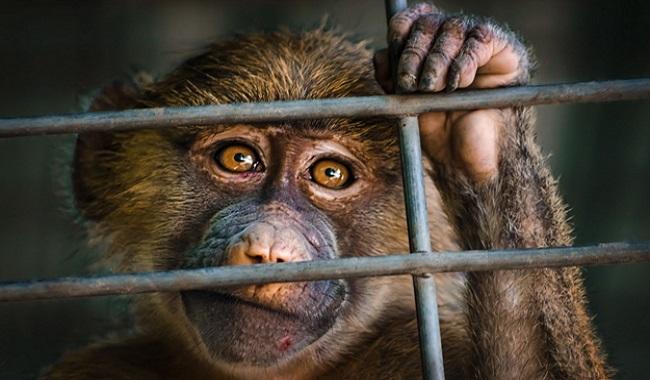 Inde singe en prison