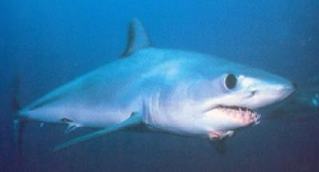 Requin Taupe