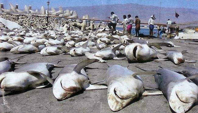 Requins tués