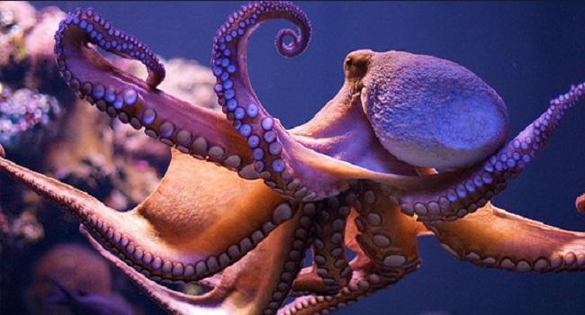 Tentacules Pieuvre