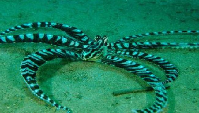 pieuvre mimétique se faisant passer pour une araignée