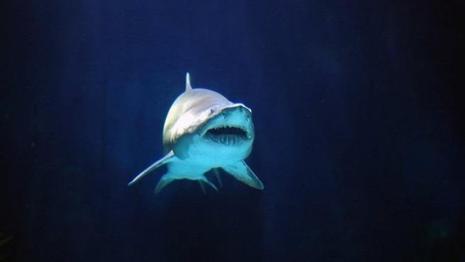requin dans l'eau