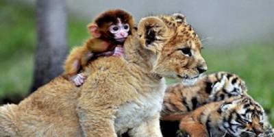 Bébé tigre et bébé singe