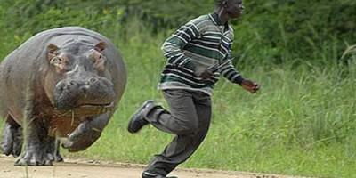 Hippopotame attaque humain
