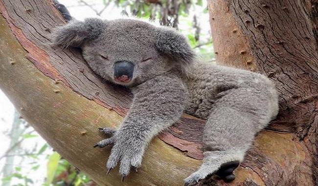 12 anecdotes sur les koalas je savais pas. Black Bedroom Furniture Sets. Home Design Ideas