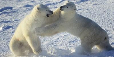Ours polaire qui s'amuse
