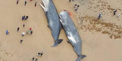 Décès de baleines de janvier 20016