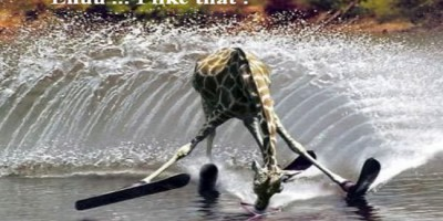Les girafes ne nagent pas