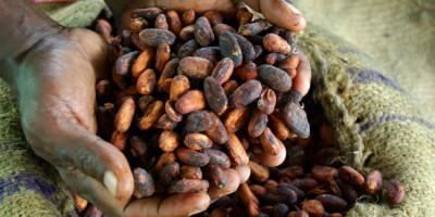 Production de cacao en danger face aux changements climatiques