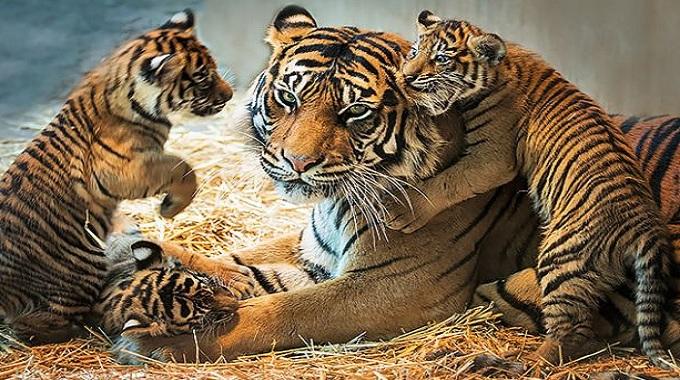 cherche tout sur tigre sauvage afrique