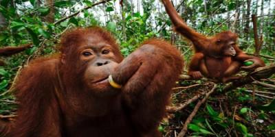 orangs-outans en Indonésie