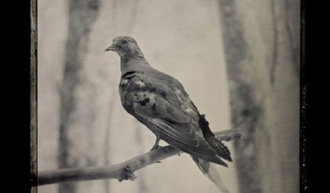 Pigeon voyageur Martha
