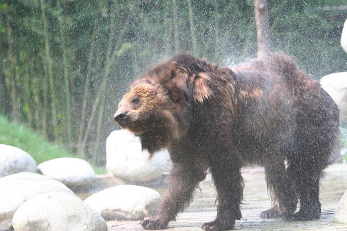 César l'ours de Chine