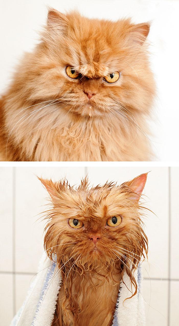 Chat avant et aprés un bain - Copie