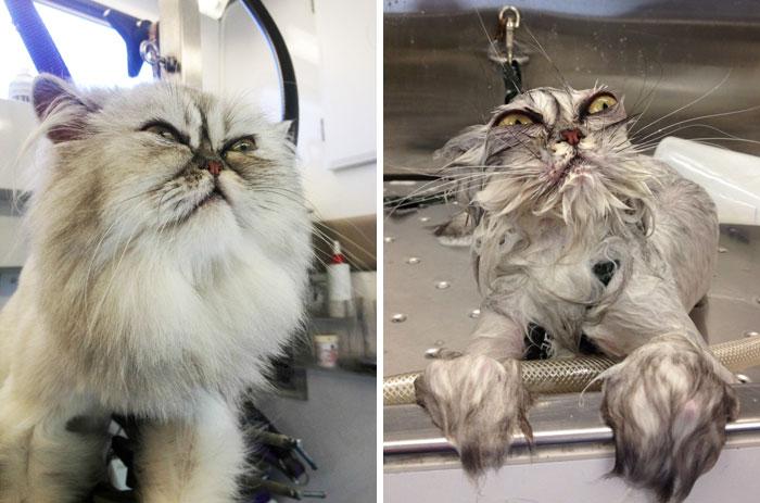 Chat mouillés avant et aprés