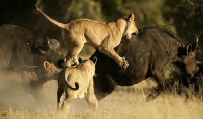 Lionne qui chasse