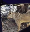 Une Femme se Réveille Devant 3 Lionnes Léchant sa Tente pour de l'Eau