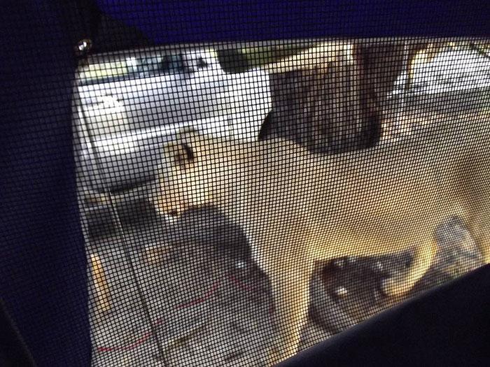 Lionnes à côté de la tente