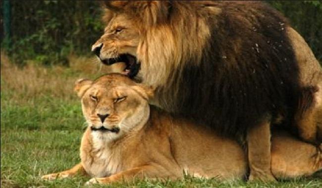 Lions qui se reproduisent