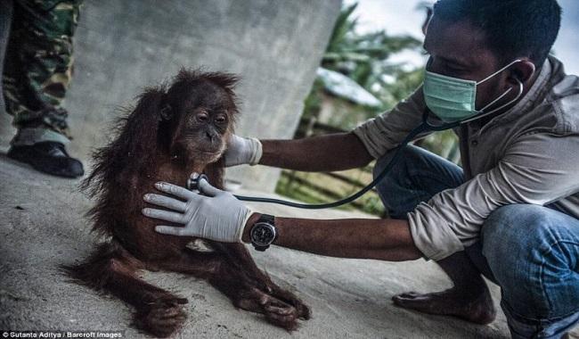 Orangs-outans maltraitré à cause de l'huile de palme