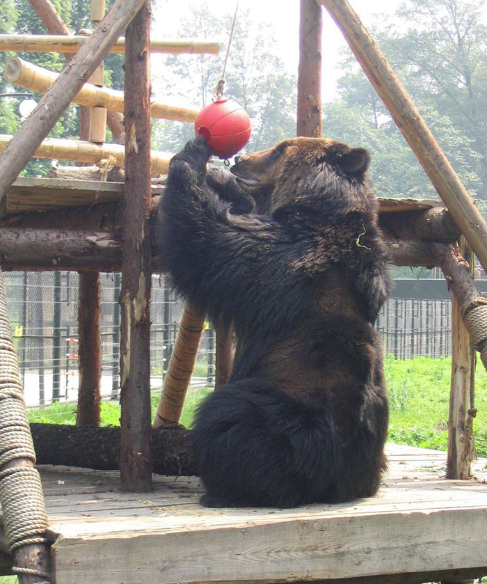 Ours maltraité en Chine
