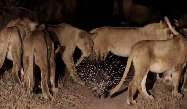 Porc-épic attaque lions