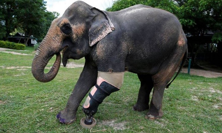 Mosha éléphant blessé par mine