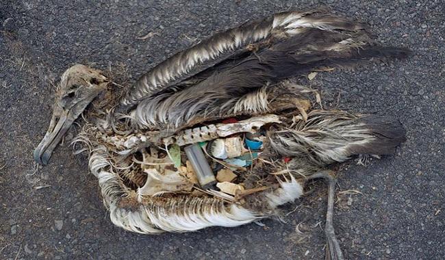 Oiseau mort le ventre plein de plastiques