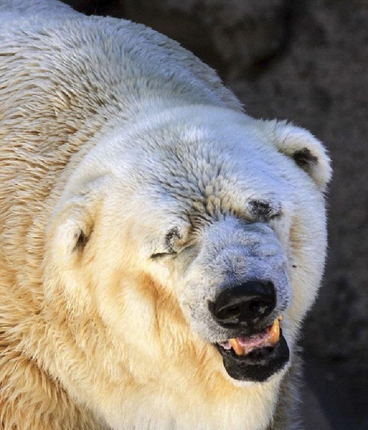 Ours polaire mort au zoo en Argentine 2016