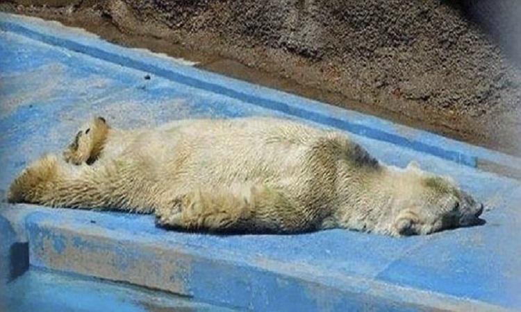 Ours polaire mort au zoo en Argentine