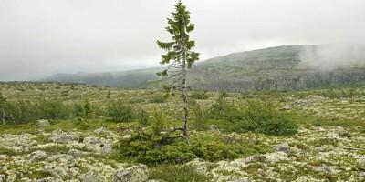 Plus veil arbre au monde (1)