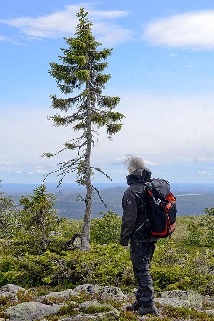 oldest-tree-old-tjikko-sweden-12