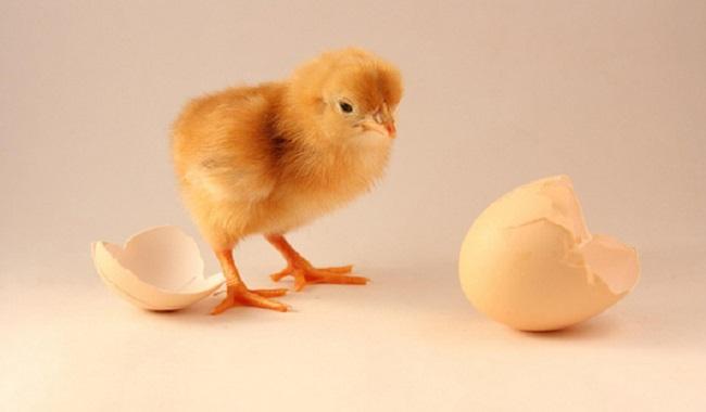 La poule avant l'oeuf