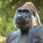 Gorille Oriental menacé d'extinction