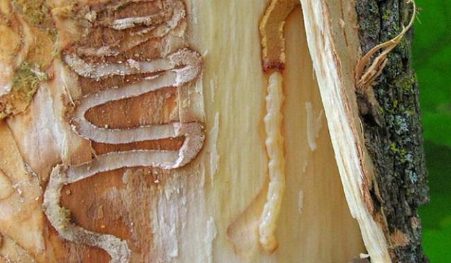La larve d'agrile du frêne.