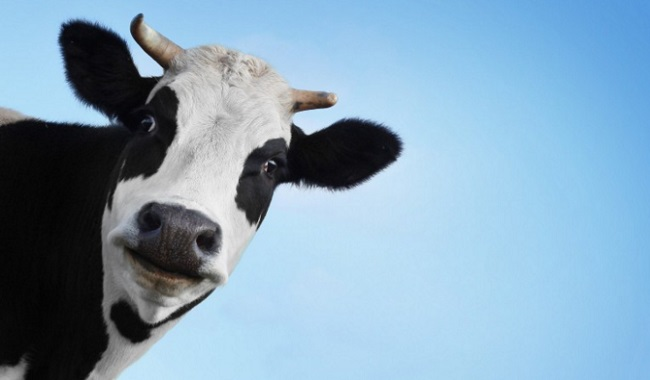 Une vache qui pose pour une meilleure alimentation végétarienne
