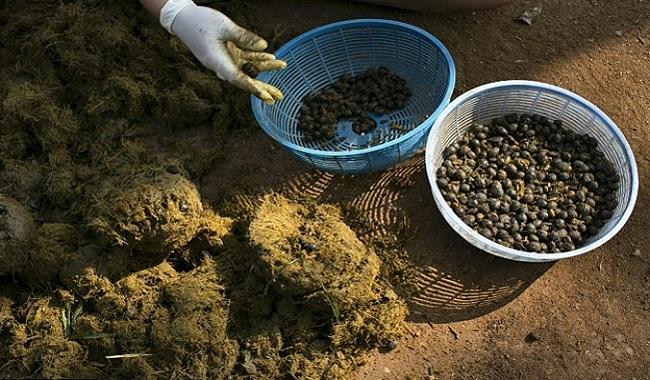 Café fait avec des escréments d'éléphants