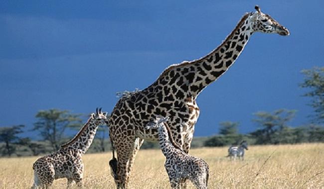 Coup d'une girafe