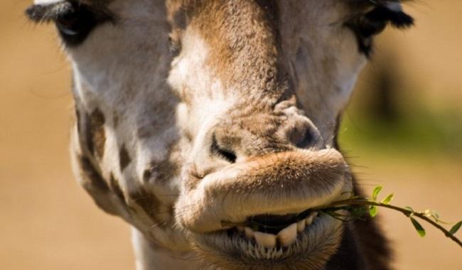 Girafe qui mange des plantes