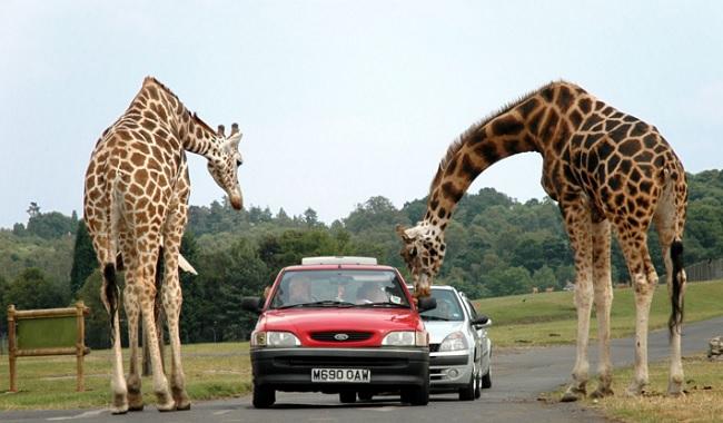 Girafes à côté des voitures