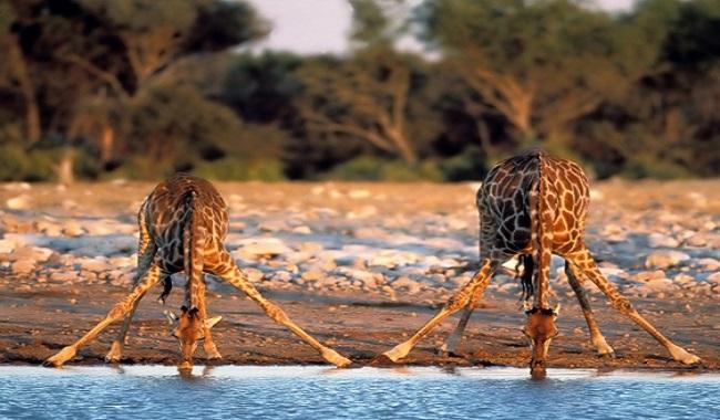 Girafes qui boient de l'eau