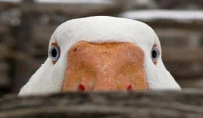 La phobie d'être regaré par un canard