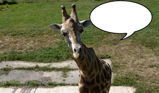 Les girafes ne font aucun bruit