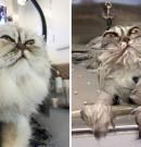 Photos Hilarantes d'Animaux Avant et Après un Bain