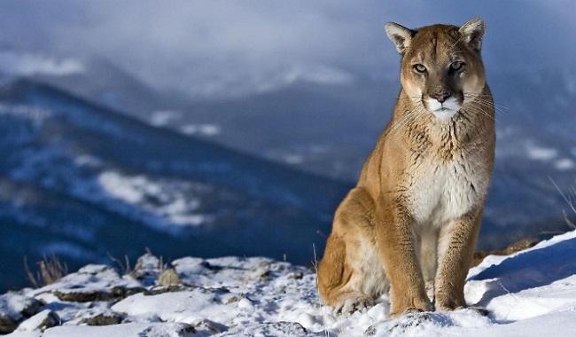 Lion de montagne