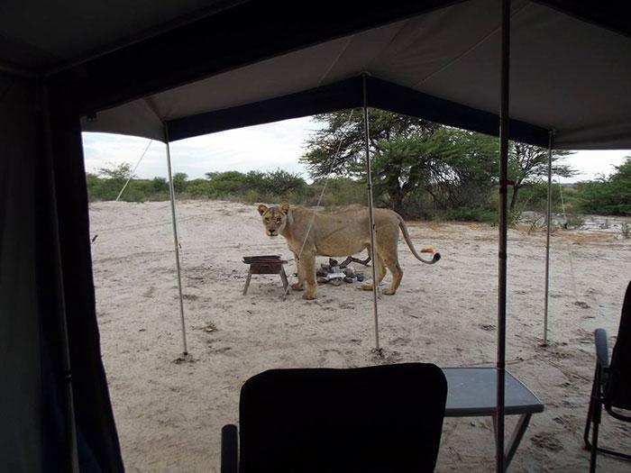 Lionnes au réveil devant la tente