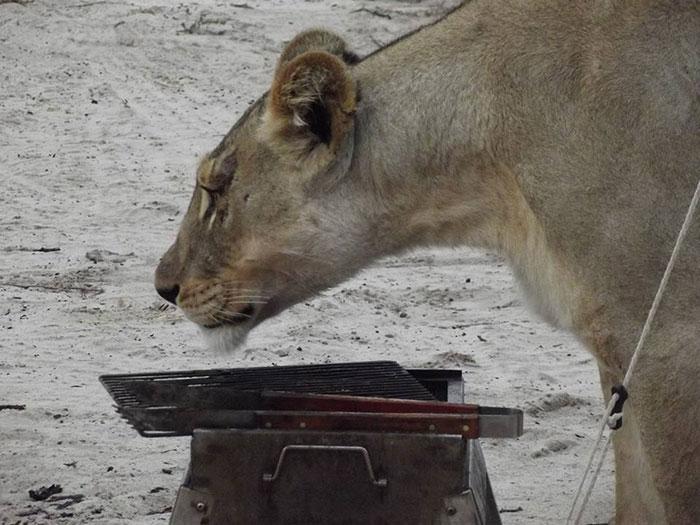 Lions qui lèchent tente au Botswana