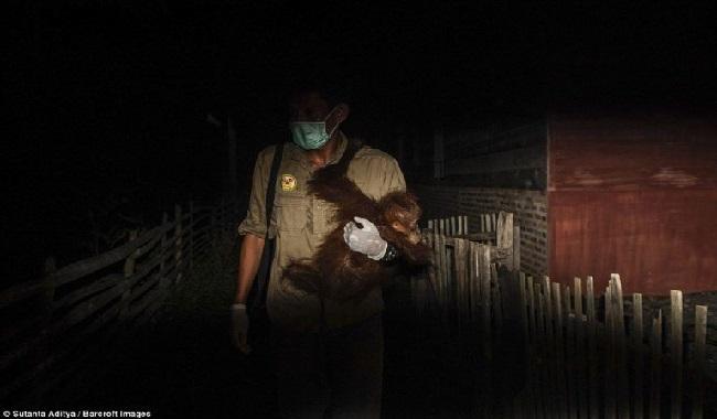 Orangs-Outans sauvés par un homme