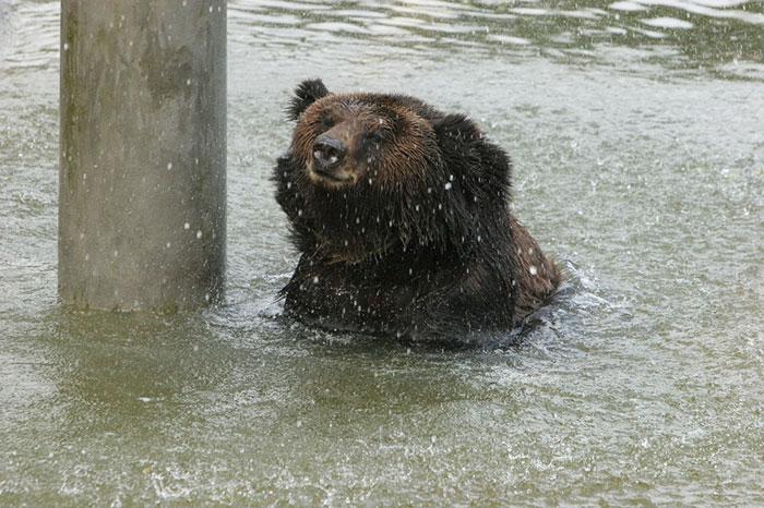 Ours maltraité nage
