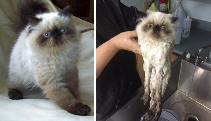 Photo rigolote de chat avant et aprés bain
